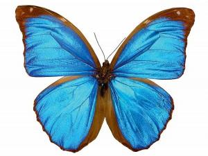 papillon ( morpho menelaus, brsil )