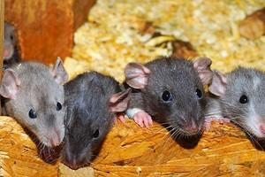 Вам грустно? Австралийские ученые рассказали о пользе щекотки и том, как правильно щекотать крыс